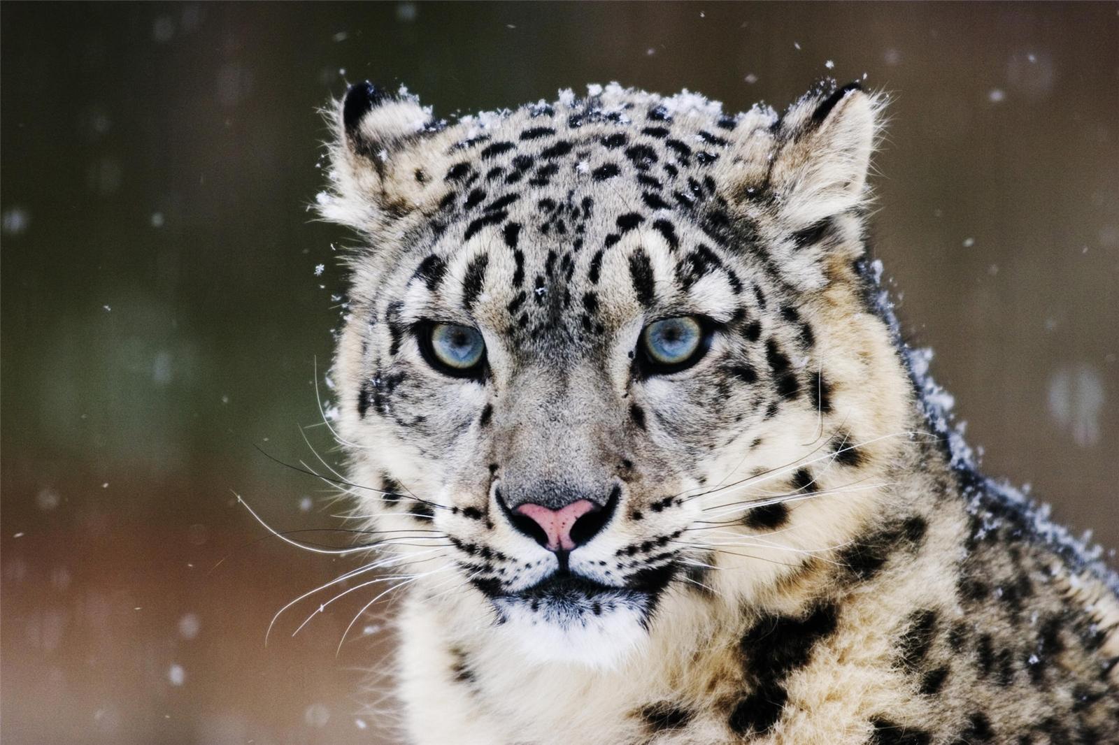 介素新疆特有的野生动物——雪豹